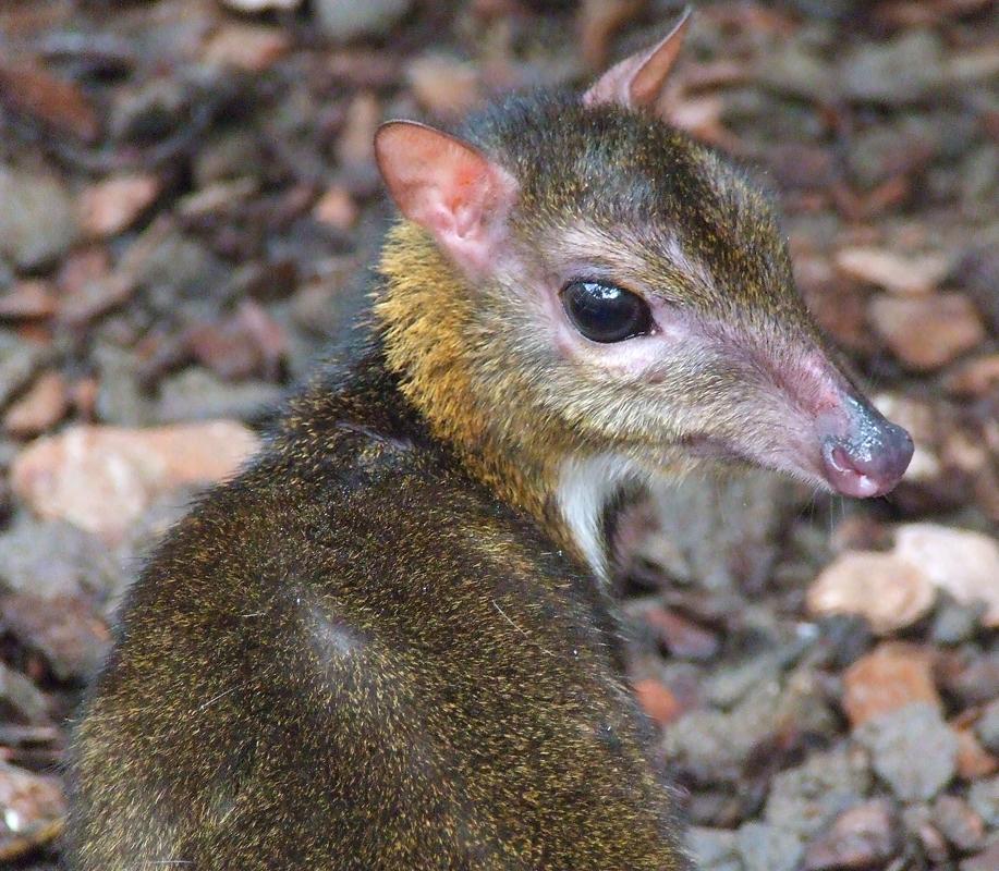 Wwarszawskim zoo zamieszkał myszojeleń